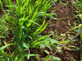 小麦の成長 小麦と小麦の間の雑草取り    この小麦がナチュのパンになります。