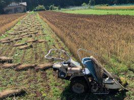 小麦の成長 収穫時期がやってきた この小麦がナチュのパンになります。