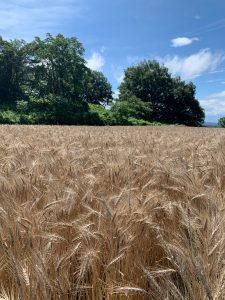 """<span class=""""title"""">小麦の収穫 小麦が小麦色になりました この小麦がナチュのパンになります。</span>"""